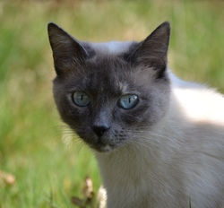 Fidji, chat Siamois