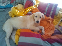 Fidji, chien Golden Retriever