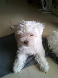 Fidji, chien Bichon maltais