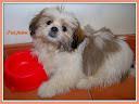 Fidji, chien Lhassa Apso
