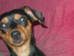 Fidji, chien Pinscher