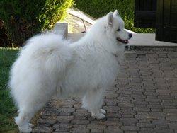 Fidji, chien Samoyède