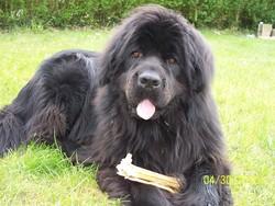 Fidji, chien Terre-Neuve