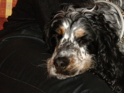 Fidji, chien Clumber Spaniel