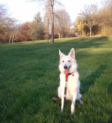 Fidji, chien Berger blanc suisse