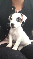 Fidgy, chien Jack Russell Terrier