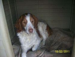 Fidji, chien Épagneul breton