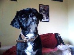 Fidji, chien Shih Tzu
