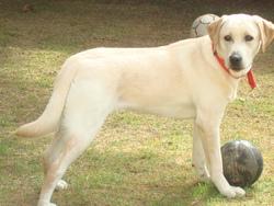 Fidji, chien Labrador Retriever