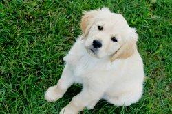 Fidji, chien Golden Retriever