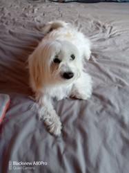Fidji, chien West Highland White Terrier