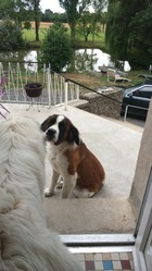 Fidji, chien Saint-Bernard