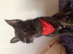 Fidji, chien Chihuahua