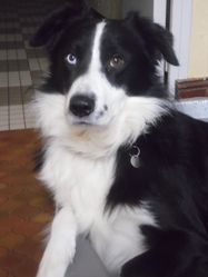 Fidji, chien Border Collie