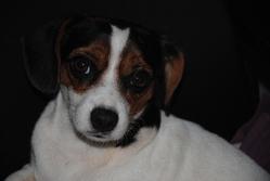 Fidji, chien Cavalier King Charles Spaniel