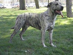 Fidji, chien Cão fila de São Miguel