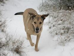 Fidji, chien Berger belge