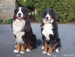 Fidji, chien Bouvier bernois