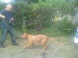 Fidji-Zya, chien Dogue de Bordeaux