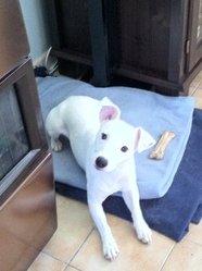 Fidjie, chien Jack Russell Terrier