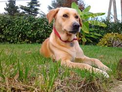 Fidjie, chien Labrador Retriever