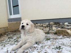 Fidjie, chien Golden Retriever