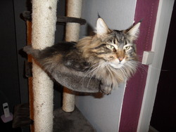 Fidjie, chat Maine Coon