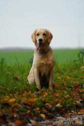 Fidjie, chien Golden Retriever