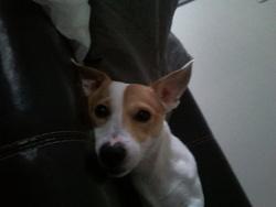 Fidjy, chien Jack Russell Terrier
