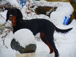 Fidjy, chien Setter Gordon