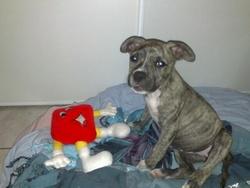 Fidjy, chien American Staffordshire Terrier