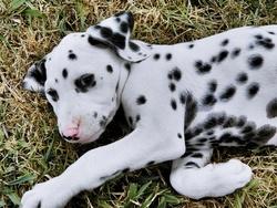 Fidjy , chien Dalmatien