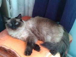 Fidjy, chat Siamois