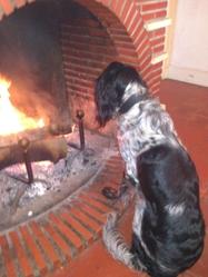 Fidjy, chien Setter anglais