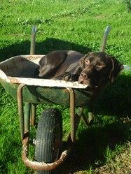 Fidjy, chien Braque allemand à poil court