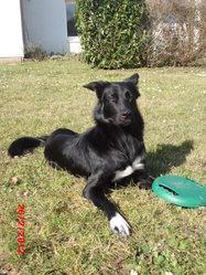 Fidjy, chien Border Collie