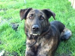 Fidjy, chien Berger allemand