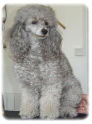 Fidjy, chien Caniche