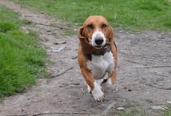 Fidjy Dite Feyja Du Cheval Du , chien Basset artésien normand