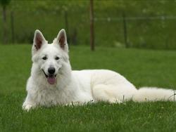 Fidney, chien Berger blanc suisse