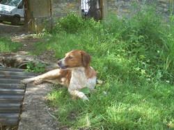 Fido, chien Épagneul breton