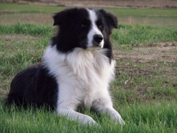 Fido, chien Border Collie