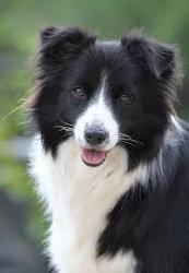 Fido, chien Border Collie