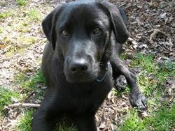 Fidot, chien Labrador Retriever