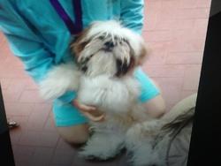 Fidou, chien Shih Tzu