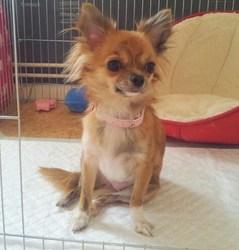 Fiesta, chien Chihuahua