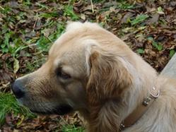 Fiesta, chien Golden Retriever