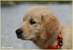 Fiesta, chien Golden Retriever