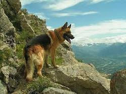 Fiesta, chien Berger allemand