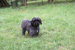 Fifi, chien Lhassa Apso
